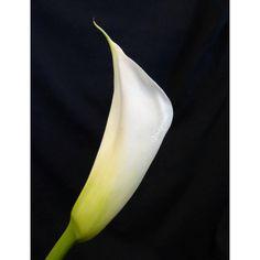 #blackandwitephoto #kála #blackandwhite #blackandwhitephotography  #flowers #flowerphotography #cala #flower #flowersphotography  #instaflower #instaflowers #flowerofinstagram #blumen #blumenfotografie #flowergram #flowerporn # #loves_flowers_ #ig_macro #ig_flowers  #blomma #virág #flowerstagram #rainbow_petals #macroworld #blooming_petals #flower_backblack_shots  #exclusive_flower #tv_flowers #_international_flowers_ @_international_flowers_