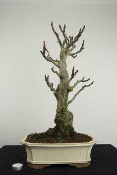 Bonsai Common Fig, Ficus carica