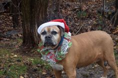 LOLA - A1098890 - - Staten Island  Please Share:TO BE DESTROYED 12/22/16: ****PUBLIC ADOPTABLE**** A volunteer writes: I love Lola! That would be the name of my TV show if I had produced one for her. A gentle soul, who is so friendly in your company you can't help but adore her. She has a few years in her, but I'm sure those years were spent in a happy home. Lola accepted all handling from me, and is a trooper on the walk. No pulling on leash here, just an easy,