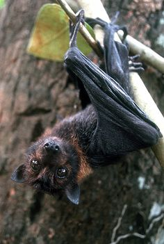 Baby Fruit bat, Yap Island, Federated States of Micronesia