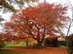copper beech | Panoramio - Photo of Birmingham Botanical Gardens - Copper Beech