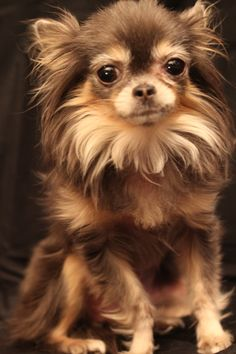 Chihuahua Care - 5 Important Issues Every Owner Should Know - Dog Pets Zone Brown Chihuahua, Long Haired Chihuahua, Teacup Chihuahua, Chihuahua Puppies, Cute Puppies, Cute Dogs, Dogs And Puppies, Doggies, Pomchi Puppies