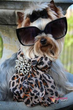 Sophisticated Yorkie puppy ✿⊱╮