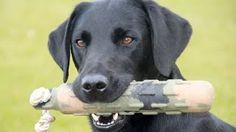 When To Breed A Labrador Retriever Labrador Retriever Dog Breed Guide Top 10 Dog Breeds, Dog Information, Labrador Retriever Dog, Your Pet, Labradors, Pets, Animals, Environment, Popular