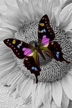 'Purple Butterfly On Sunflower' by Garry Gay Papillon Violet, Papillon Butterfly, Butterfly Kisses, Purple Butterfly, Butterfly Flowers, Mariposa Butterfly, Flying Flowers, Butterfly Wings, Beautiful Bugs