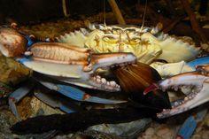 Blue Crab (Callinectes sapidus) with ribbed mussel (Geukensia dimissa)  The Estuarium  Dauphin Island Sea Lab  Dauphin Island, AL