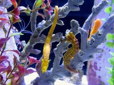 Atlantis- seahorses! Awesome sea life!