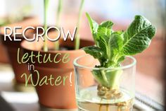 Regrow Lettuce - in Water!