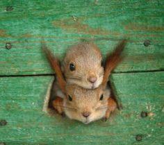 Neugierige Eichhörnchen