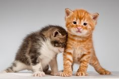 Ginger and taby kittens http://www.dividedback.com/
