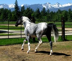 I've always wanted a blue roan.  This Blue Roan APHA Tobiano is beautiful.
