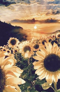 Sunflower at Sunset Sunflower Pictures, Sunflower Art, Sunflower Fields, Sunflowers And Daisies, Beautiful Flowers, Sun Flowers, Growing Sunflowers, Exotic Flowers, Wild Flowers