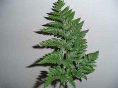 1. Arachnoides adiantiformis (ledervaren) _ let op: sporen aan de onderkant van het blad.