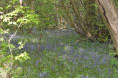 Hartshill Hayes field of bluebells