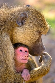 Newborn baby baboon, Amboseli National Park, Kenya © Jim  Zuckerman