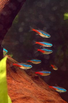 When we think of tropical fish, neon tetras will often be the first thing that comes to mind. Find out how to care for this fishkeeping classic! Tropical Freshwater Fish, Freshwater Aquarium Fish, Tropical Fish, Aquariums, Neon Tetra Fish, 10 Gallon Fish Tank, Fish Tank Design, Pet Fish, Beautiful Fish