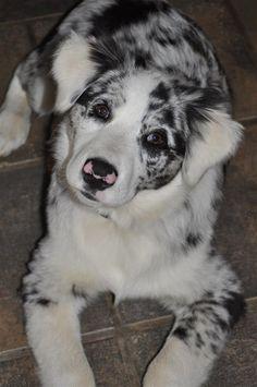 My baby Aussie Lucy at 4 months old.