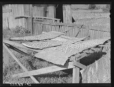 Drying apples outside mountain home near Jackson, Kentucky | Library of Congress