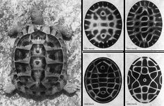 Picture of Tortoise beside Cymatic Sound Patterns. The Tortoise, so often seen as supporting the World in Creation Myths, has a striking similarity to Cymatic Sound Pattern within its Shell. It was a Tortoise Shell that was used to Create the Ancient...