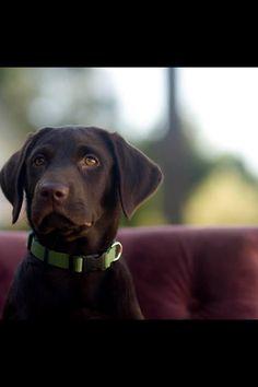 Chocolate lab puppy Melissa gray photography