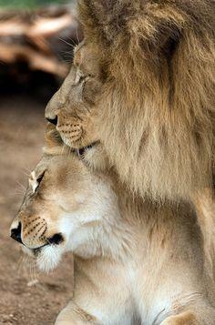 Which Lion Couple Is Cuter: M'bari And Etosha Or Izu And Oshana?