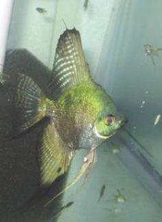 smokey angelfish | pinoy smokey s pinoy smokey philippine blue product code ang