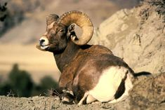A century ago, wild bighorn sheep thrived in the United States, numbering in the millions. But settlement left the various bighorn populations of the West nearly extinct. Ibex Goat, Alpine Ibex, Safari, Goat Art, Big Horn Sheep, Sheep Art, Viewing Wildlife, Hotels, Endangered Species