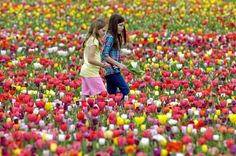 This Virginia Farm Will Have Thousands of Tulips in Bloom This Weekend. Pick your own flower farm in Nokesville, VA. We Are Festival, Tulip Festival, Spring Festival, Tulips Garden, Daffodils, Flower Gardening, Burnside Farms, Virginia Is For Lovers, Beautiful Flowers Garden