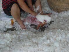 Révélations : des oies terrifiées se font toujours arracher les plumes pour produire du duvet   Agissez   PETAFrance.com - 1   PETA France