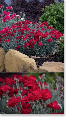 Dianthus 'Rebekah' Herbaceous Perennials, Garden Plants, Planting, Garden Ideas, Sun, Formal, Preppy, Plants, Backyard Ideas