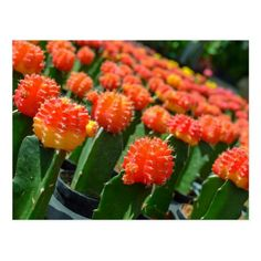Moon Cactus Info They are a colorful group of succulents that lack the necessary chlorophyll to produce plant sugars through photosynthesis. For this reason, the plants are grafted onto a species that produces plentiful chlorophyll upon which the moon cactus can sustain itself for several years.