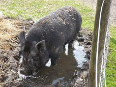 Percy pig @islandfarmdonks