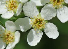 Prunus padus DSC_4968a