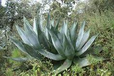 Bildergebnis für agaven in der provence bilder