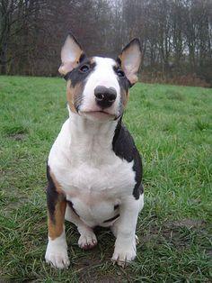 Aweee I want an English Bull Terrier dog! So beautiful.