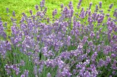 Lavender: It's no wonder lavender tolerates drought, since the fragrant plant is native to the Mediterranean and the Middle East. The mounding plants make attractive specimens or borders.