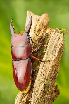 Dorcus taurus by Robert Mróz Weird Insects, Types Of Insects, Bugs And Insects, Beetle Insect, Beetle Bug, Beautiful Bugs, Beautiful Pictures, Cool Bugs, Insect Photography