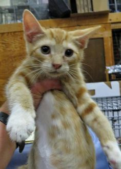 6-320 - URGENT - TOWN OF BABYLON ANIMAL SHELTER in West Babylon, NY - ADOPT OR FOSTER - Male KITTEN Domestic SH Mix