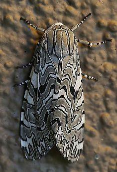 Painted Tiger Moth (Arachnis picta) photographe by Ty Fitzmorris at Oak Creek, Yavapai County, Arizona, USA