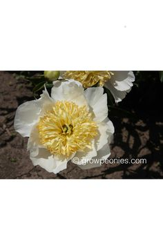 (Wassenberg, The large, pure white flowers of this peony are accented with a vibrant center of yellow staminodes. Yellow Peonies, Buy Peonies, Peony Bush, Gold Medal Winners, Pure White, White Flowers, Countryside, Bloom, Vibrant