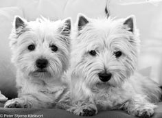Westies | by Klinkvort