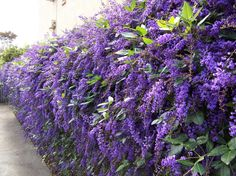 Hardenbergia Flowers Native Climber not as aggressive as Wisteria but just as pretty