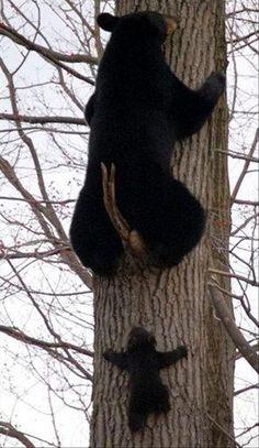 Cute Black Bear Cub Follows It's Parent Up Tree