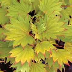 Japanese Maple, Golden Full Moon, Acer shirasawanum 'Aureum'. Large chartruese orbicular leaves with bright red petioles which make this one of the most desired maples. The golden color develops when the Full Moon is placed in a sunny location. The Full Moon is rather slow growing this maple will reach 8 feet tall in 10 years. Brilliant orange and red fall colors. Sun / part shade.