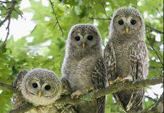 エゾフクロウ Ural owl(Strix uralensis  japonica)