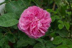 Rosa borbonica 'Gros Choux d'Hollande'