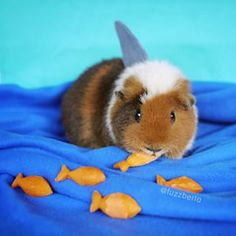 … Shark Week… | These Cosplaying Guinea Pigs Will Make You Squee