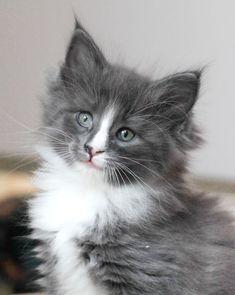 Adorable grey & white long-haired kitten (hva)
