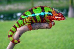 ambilobe panther chameleon - Google Search