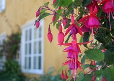 Lepaan miljöö: Verenpisara on perinteikäs kesäkukka - Lepaa gardens: Fuchsia is traditional summer flower